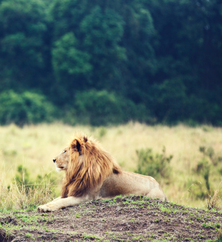 Wild Lion - Obrázkek zdarma pro iPad