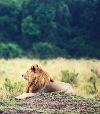 Wild Lion - Obrázkek zdarma pro 360x480