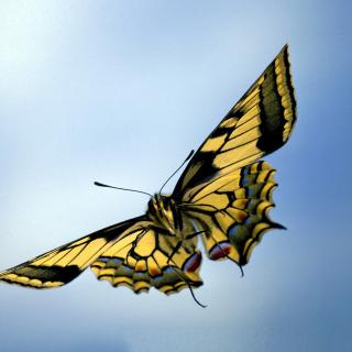 Black and White Butterfly - Obrázkek zdarma pro 208x208