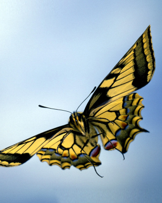 Black and White Butterfly - Obrázkek zdarma pro Nokia Asha 310