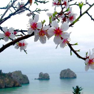 Japanese Apricot Blossom - Obrázkek zdarma pro 128x128