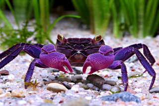 Big Crab Wallpaper for Android, iPhone and iPad