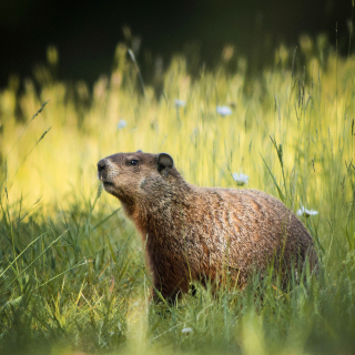 Marmot - Obrázkek zdarma pro 1024x1024