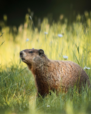 Marmot - Obrázkek zdarma pro iPhone 5