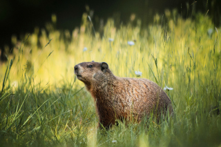 Free Marmot Picture for Android, iPhone and iPad
