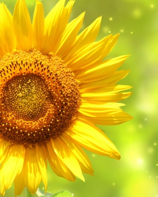 Giant Sunflower Background for Nokia C5-05
