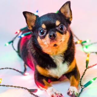 Chihuahua Dog - Obrázkek zdarma pro 208x208