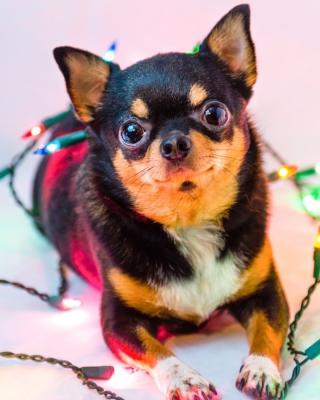 Chihuahua Dog - Obrázkek zdarma pro Nokia Lumia 920T