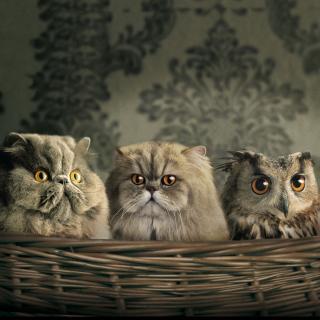 Cats and Owl as Third Wheel - Obrázkek zdarma pro 320x320