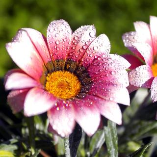 Macro pink flowers after rain - Obrázkek zdarma pro 128x128