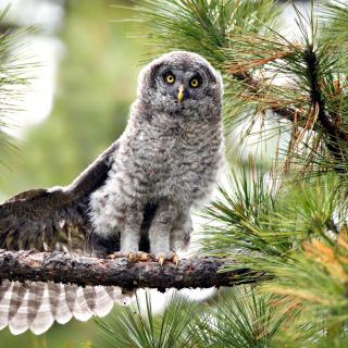 Owl in Forest - Obrázkek zdarma pro 1024x1024