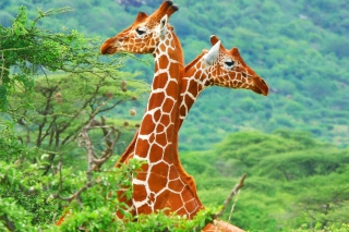 Free Savannah Giraffe Picture for Android, iPhone and iPad