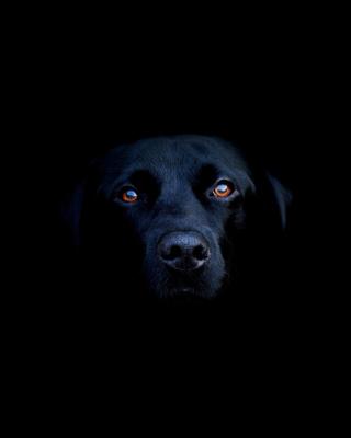 Black Lab Labrador Retriever - Obrázkek zdarma pro 640x960