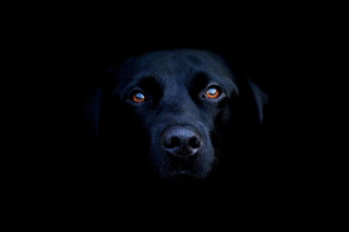 Black Lab Labrador Retriever - Obrázkek zdarma pro Samsung Galaxy A5