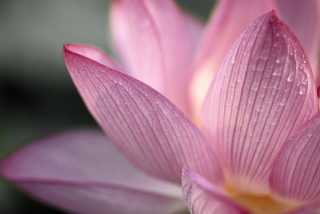 Free Lotus Flower Picture for Android, iPhone and iPad