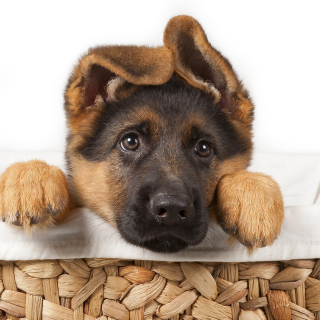 Shepherd Puppy - Obrázkek zdarma pro 208x208