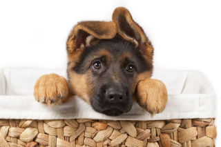 Shepherd Puppy - Obrázkek zdarma pro Desktop Netbook 1366x768 HD