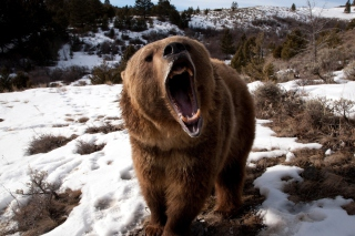 Brown Bear Roaring Wallpaper for Android, iPhone and iPad