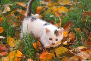 Kitty And Autumn Leaves Picture for Android, iPhone and iPad