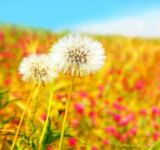 Spring Dandelions - Obrázkek zdarma pro iPad mini