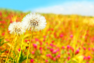 Spring Dandelions Background for Android, iPhone and iPad