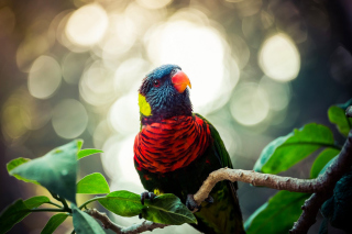 Rainbow Lorikeet Parrot Background for Android, iPhone and iPad
