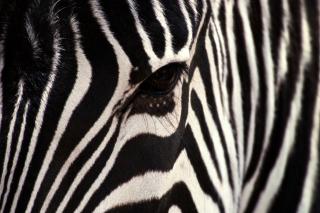 Zebra - Obrázkek zdarma pro 1600x1280