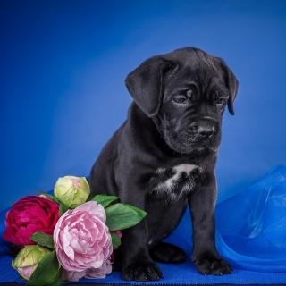 Cane Corso Puppy - Obrázkek zdarma pro 208x208