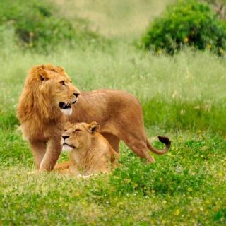Lion Couple - Obrázkek zdarma pro iPad Air