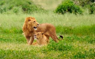 Lion Couple - Obrázkek zdarma pro Samsung Galaxy Note 4