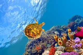 Red Sea Turtle Background for Android, iPhone and iPad