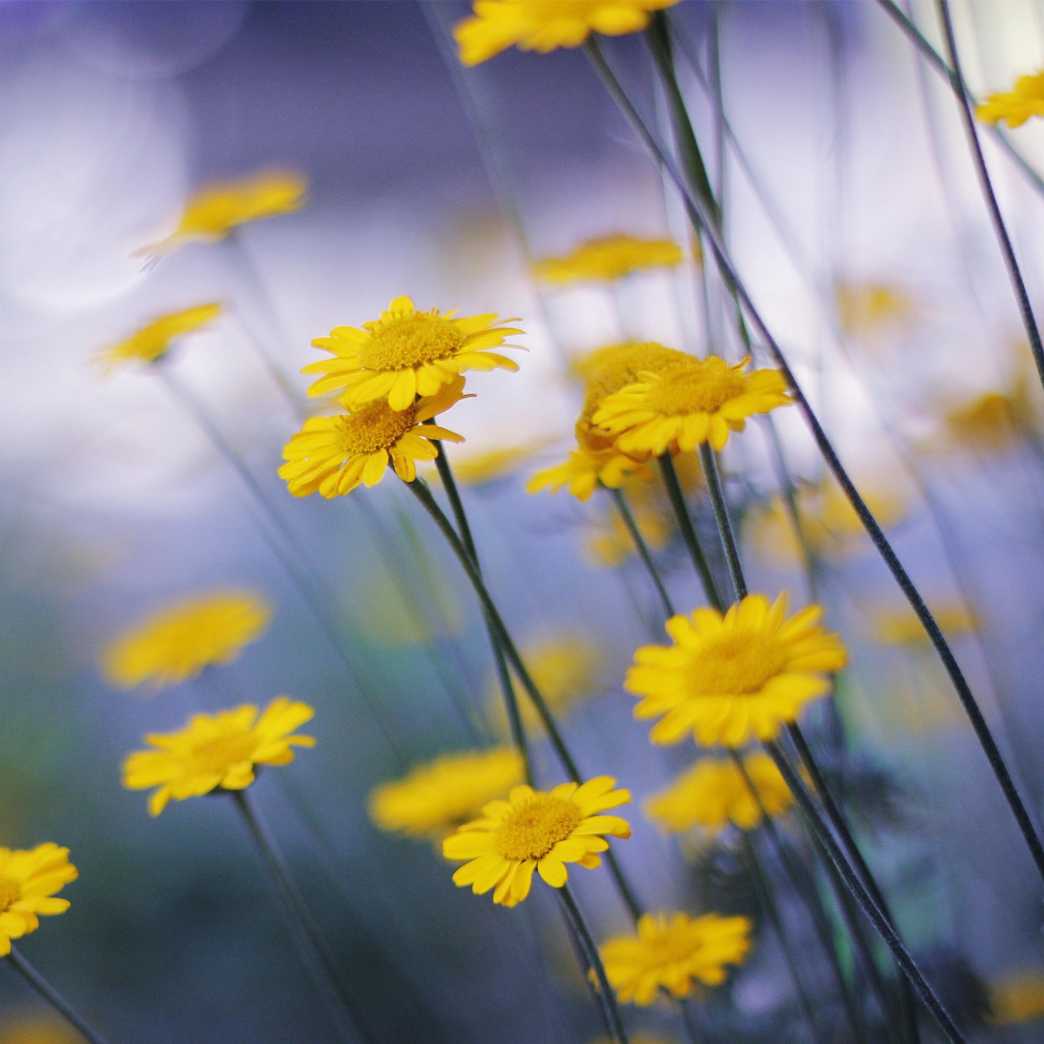 Желтые ромашки цветы желтые цветы размытость  № 3830993 загрузить