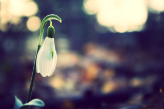 Snowdrop Bokeh Picture for Android, iPhone and iPad