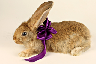 Rabbit with Bow Picture for Android, iPhone and iPad