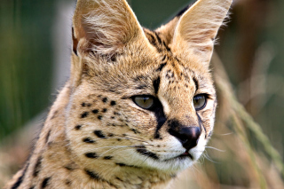Free Lynx Cats Picture for Android, iPhone and iPad