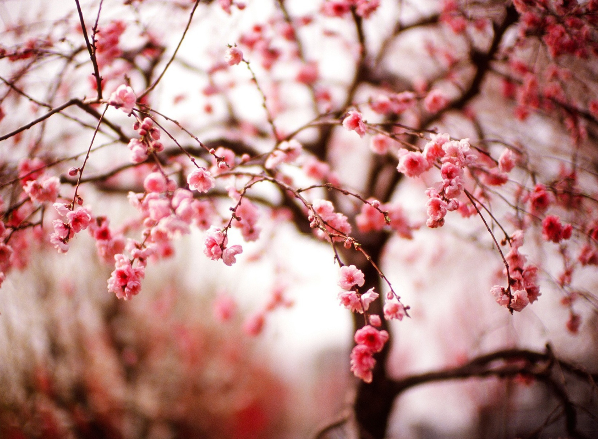 cherry blossom pictures - HD1920×1200