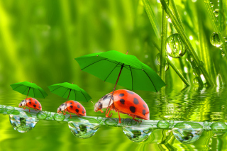 Funny Ladybugs Wallpaper for 960x854