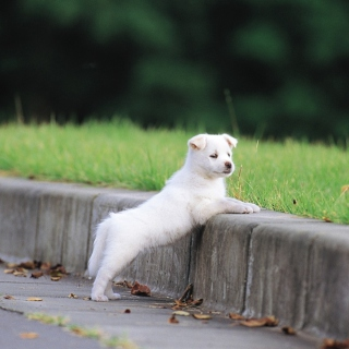 Free White Puppy Walking Picture for iPad mini 2