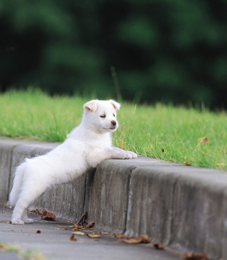 White Puppy Walking Background for Nokia Lumia 2520