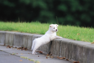 White Puppy Walking Picture for Android, iPhone and iPad