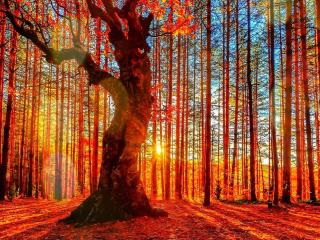 Forest Autumn Sunset para Nokia Asha 201