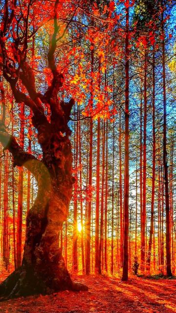 Forest Autumn Sunset para Nokia 5230