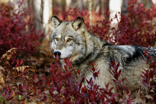 Gray Wolf In USA Forest Picture for Android, iPhone and iPad