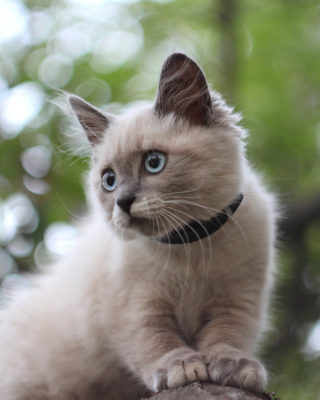 Cute Siamese Picture for Nokia C1-01
