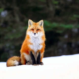 Fox on Snow Picture for LG KP105