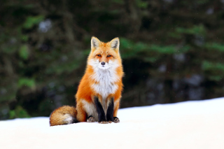 Fox on Snow Background for Android, iPhone and iPad
