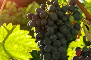 Kostenloses Bunch of Grapes Wallpaper für Android, iPhone und iPad