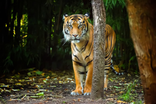 Bengal Tiger Picture for Android, iPhone and iPad