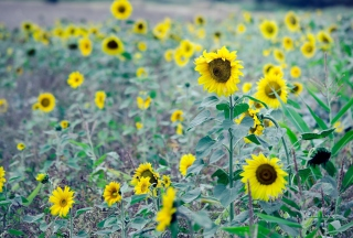 Sunflowers In Field Background for Android, iPhone and iPad