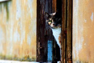 Venetian Cat Wallpaper for Android, iPhone and iPad